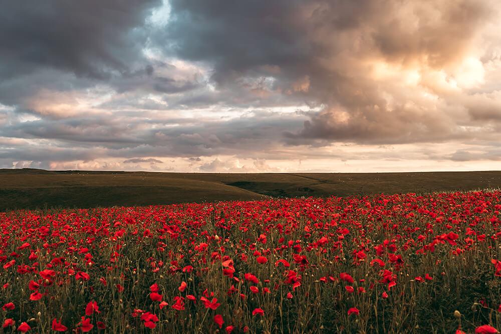 West Pentire Poppy Fields in Cornwall